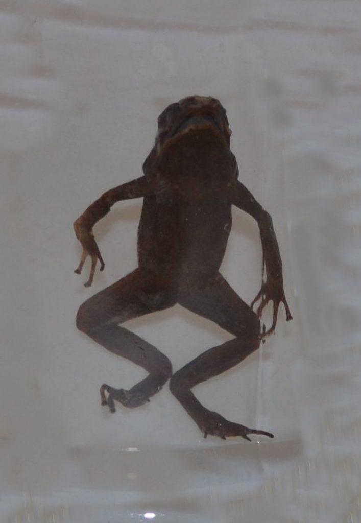 Лягушка-древолаз